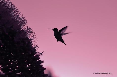 Colibri firma