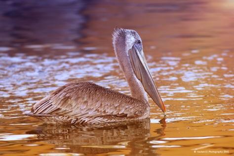 Copia de Pelicano
