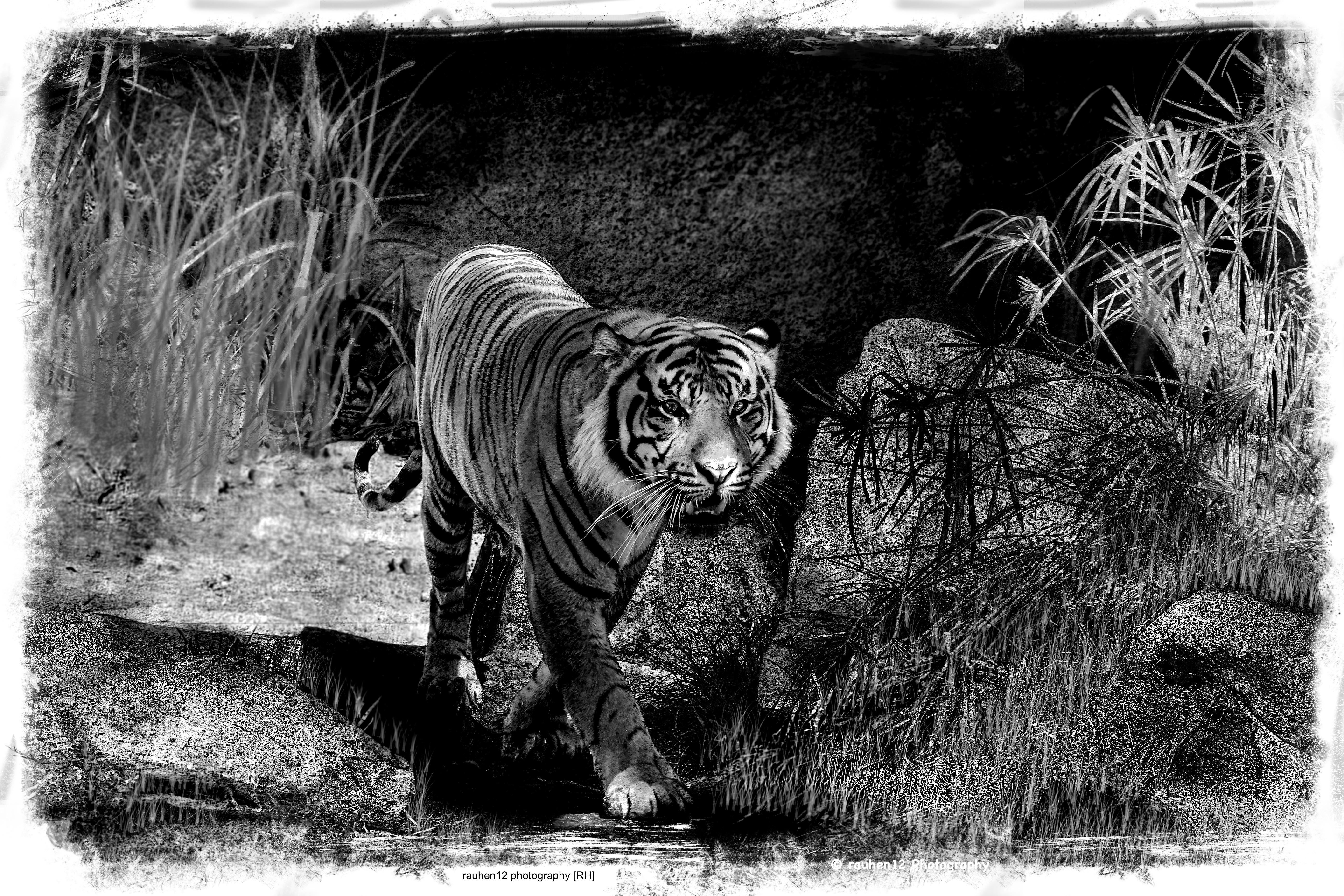 tiger1.3,43 copia 2